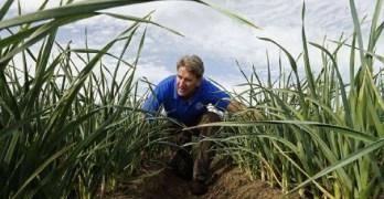 La superficie destinada al cultivo del ajo en España descenderá entre un 8 y un 10% en 2019