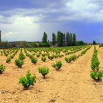 """La DOP Jumilla augura una """"añada histórica"""" en sus vinos elaborados en 2020"""