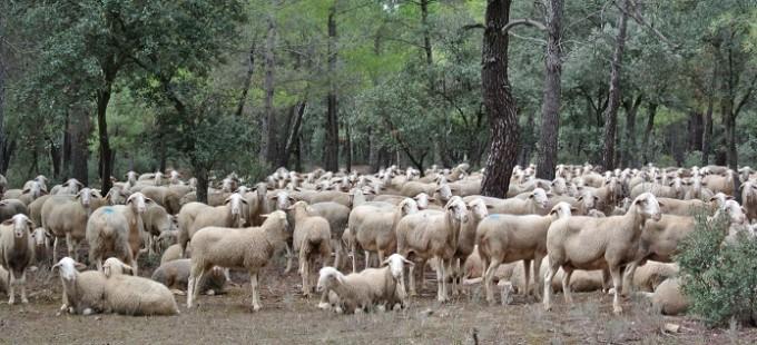 FOTO NOTA DE PRENSA AGRICULTURA ORDEÑO OVEJAS