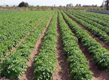patatas-campo