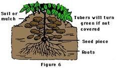 Potato Plant Diagram : ALBA LIVING