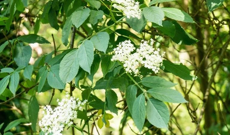 Beignets de fleurs de sureau noir (et comment le reconnaître)