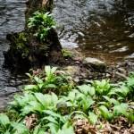 Ail des ours près d'un cours d'eau Allium ursinum