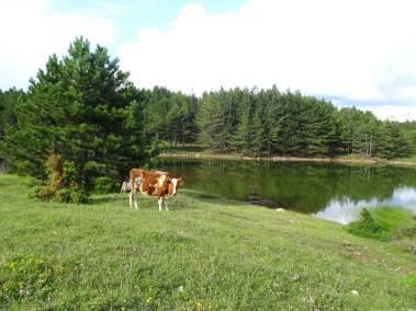 Une vache paissant au bord du lac majeur de Puka.