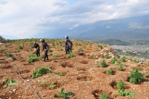 Police file photo showing a cannabis growing field in Lazarat, 16 June 2014