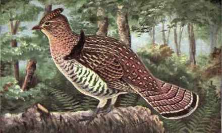 What is a Ruffed Grouse?