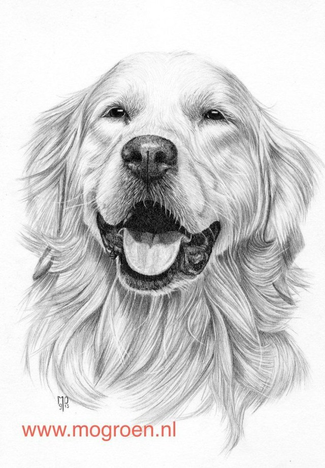 Golden Retriever Coloring Page Coloring Pages Draw A Golden Retriever Drawing Mo62 On Deviantart