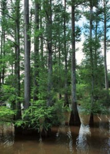 Bald Cypress: Louisiana State Tree