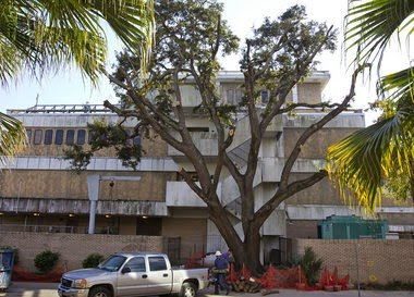 Historic Loyola University Oak Tree