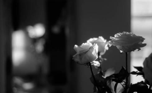 Sunday roses. Canon serenar 50mm f. 1.8