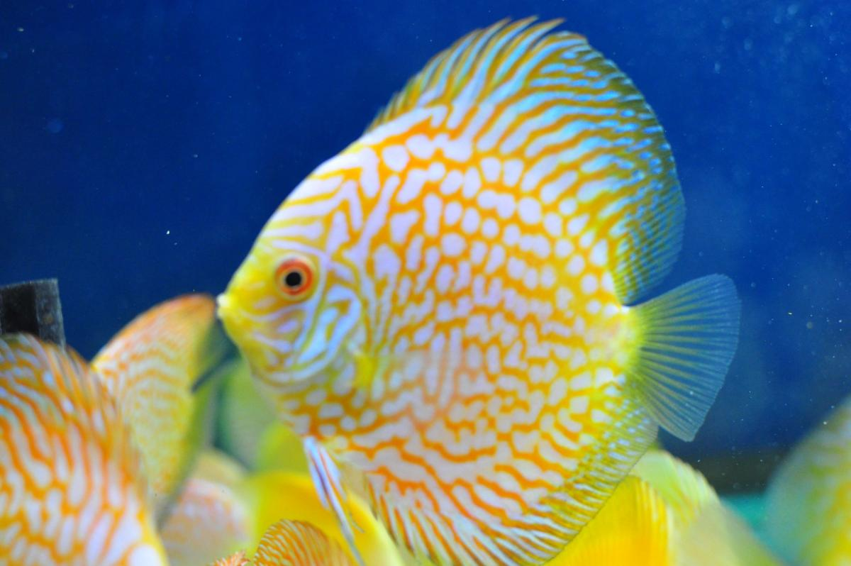 Beautiful Selection Of Discus Fish Now Available