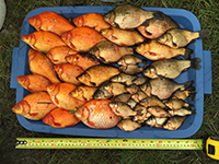 Goldfish removed from stormwater pond 2016