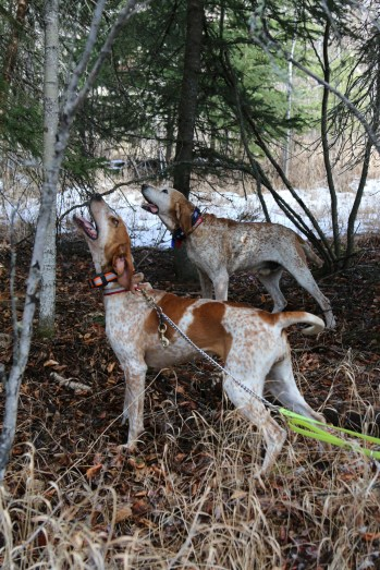 Hounds locate a cougar in the trees