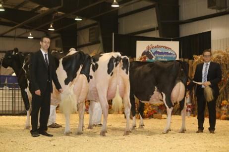 grand champions westerner dairy holstein show