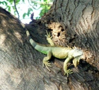 Our resident male aguana in the Parota tree next door