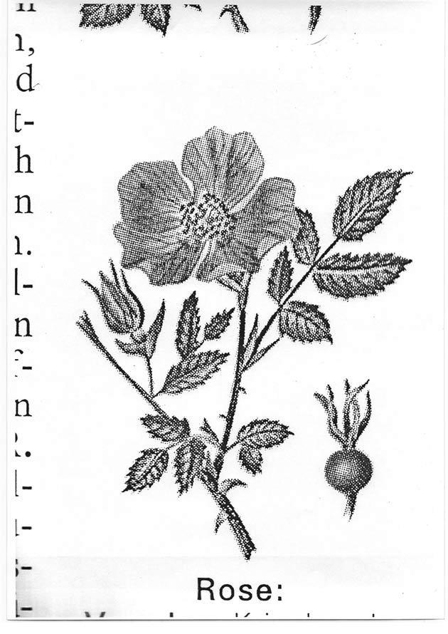 coers-Rose-Brockhaus-Scan0067