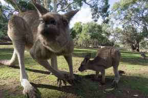 a Forester kangeroo getting very close to my lens!