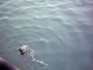 A seal that was spotted as we disembarked the ferry on the return journey