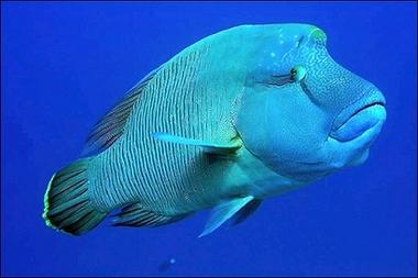 介紹拿破崙魚--人類怎麼忍心吃牠吃到牠瀕臨絕種了呢? - 小肉球的部落格 - udn部落格