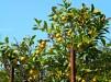 Limoni Garganici