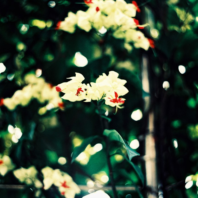 Full bloom - Fuji Velvia 50 (RVP 50) shot at EI 50. Color reversal (slide) film in 120 format shot as 6x6. Cross processed.