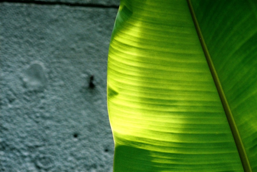 Lamina leaf - Agfa Vista 200 shot at EI 200. Color negative film in 35mm format.