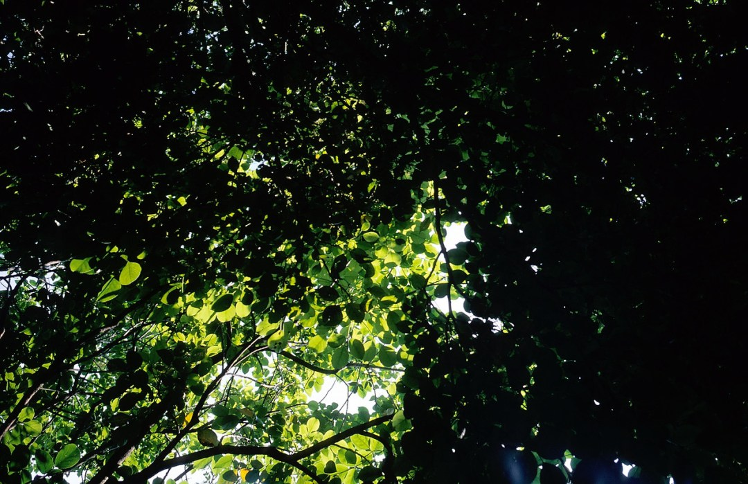 Emerald canopy - Shot on Fuji Velvia 50 (RVP50) at EI 50. Color reversal (slide) film in 35mm format.