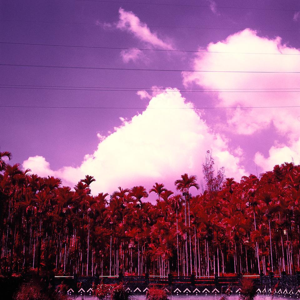 Palm grove - Kodak Aerochrome III (1443) Kodak Aerochrome III (1443) shot at EI 400. Color infrared slide film in 120 format shot as 6x6. Orange #21 filter.