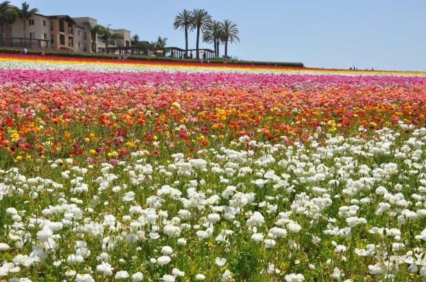 Ranunculus Fields