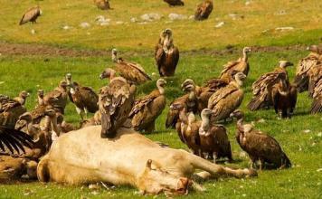 buitres-carroña