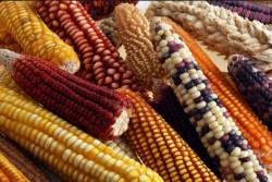 Tribunal Colegiado revoca suspensión provisional en el amparo contra Decreto sobre el glifosato y el maíz genéticamente modificado
