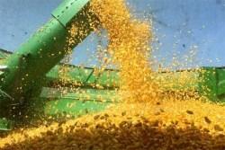 Niega México por primera vez permiso a maíz transgénico