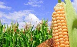 Presentan en Sinaloa cosecha de maíz blanco con transición agroecológica y sin glifosato