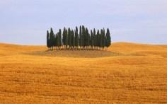 Agrupación de cipreses en la Toscana