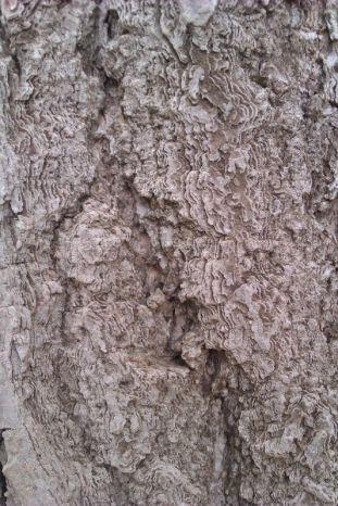 tronco de Ginkgo del jardín Ingles
