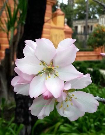 Prunus dulcis, flor