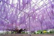 Wisteria floribunda de 144 años en el Ashikaga Flower Park, Japón.
