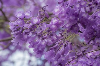 Jacaranda en flor, Sevilla