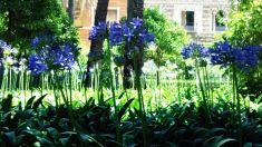 Agapantos en flor en los Jardines del Alcázar