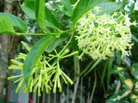 Cestrum nocturnum en flor
