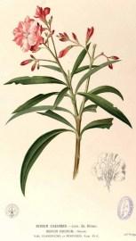 "Dibujo del Nerium oleander L. en ""Flora de Filipinas"" (Atlas I). Francisco Manuel Blanco 1880-1883? http://commons.wikimedia.org/wiki/File:Nerium_oleander_Blanco1.37-original.png"