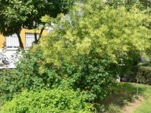 Arbusto de dama de noche en un jardín de Sevilla