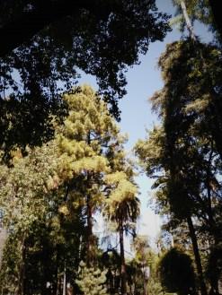 pino canario en el jardín Inglés del Alcázar