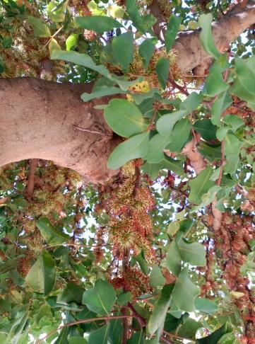 Algarrobo en plena floración
