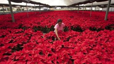 Cultivo industrial de Flores de Pascua, México.