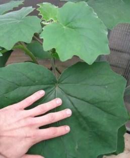 Escala de las hojas Senecio Petasitis
