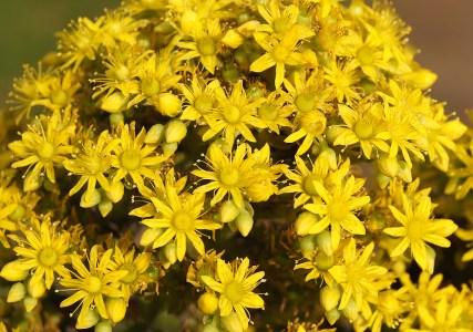 Flor de Aeonio