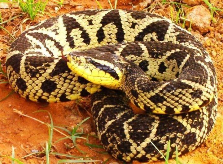 Brazilian viper venom - The Scientific Triangle