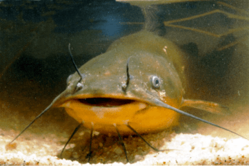 Image result for catfish bottom feeder