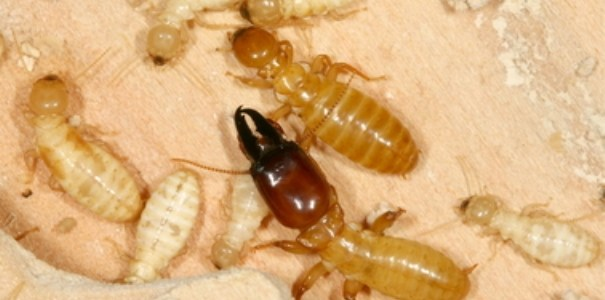 Termite pest control breakthrough close?